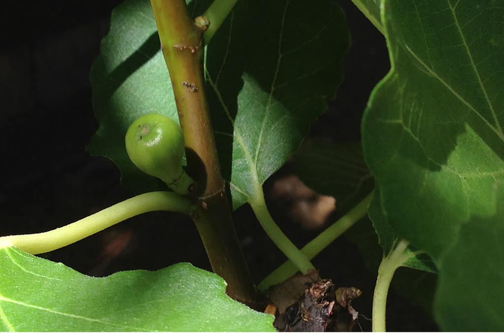 Figs Grown In A Pot.