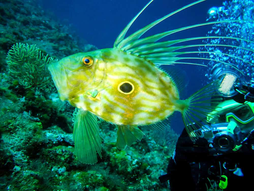 Underwater photographer is taking picture of Zeus Faber - John Dory , st Pierre or Peter's fish in natural habitat in Adriatic sea Croatia. Seascape nature ambient shot of scuba activity and wildlife. Active vacation and nature conservation.
