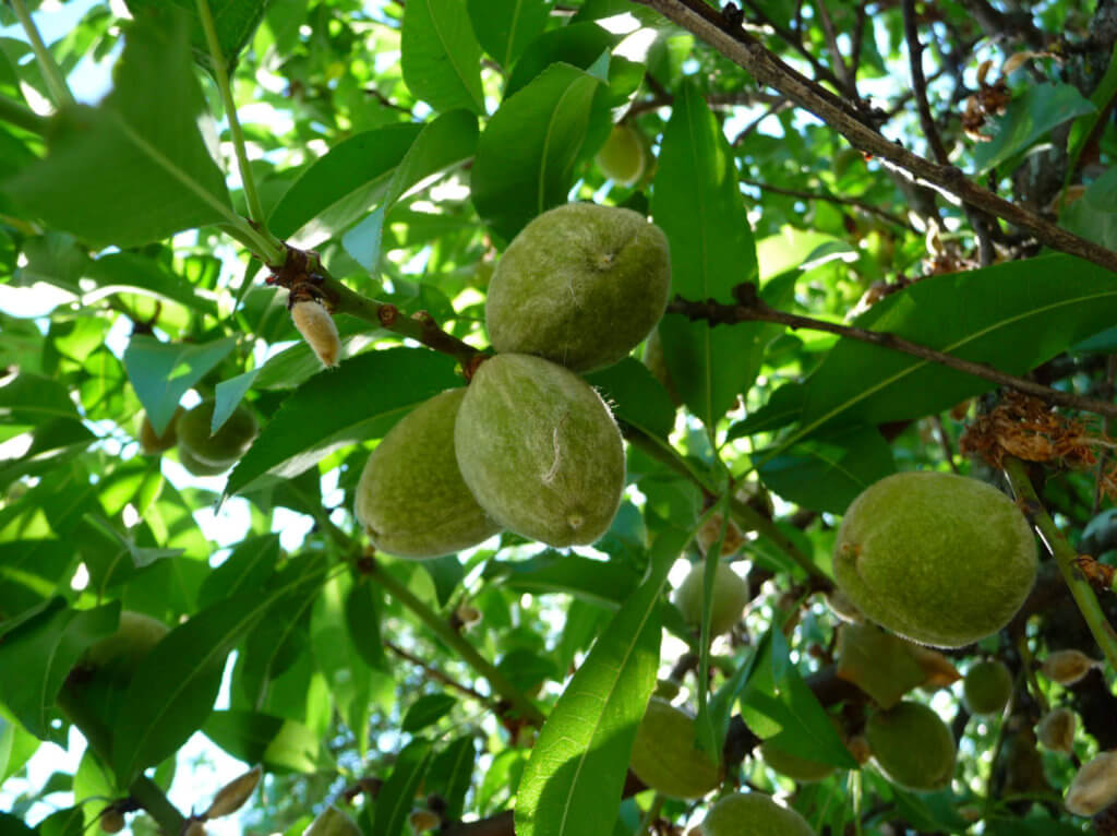 green almonds on the tree